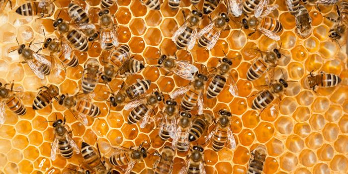 worker-honey-bees